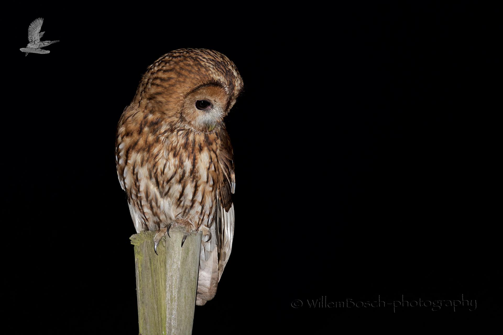 Bosuil_Strix aluco_tawny owl_Waldkauz_Kattuggla_