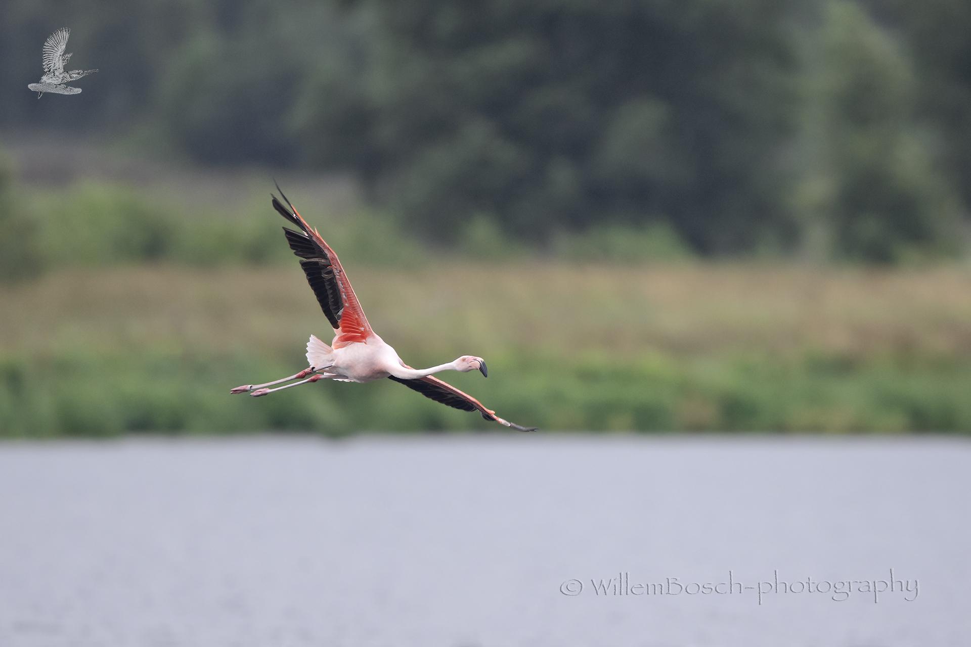 Caribische-flamingo_1920_ND57093