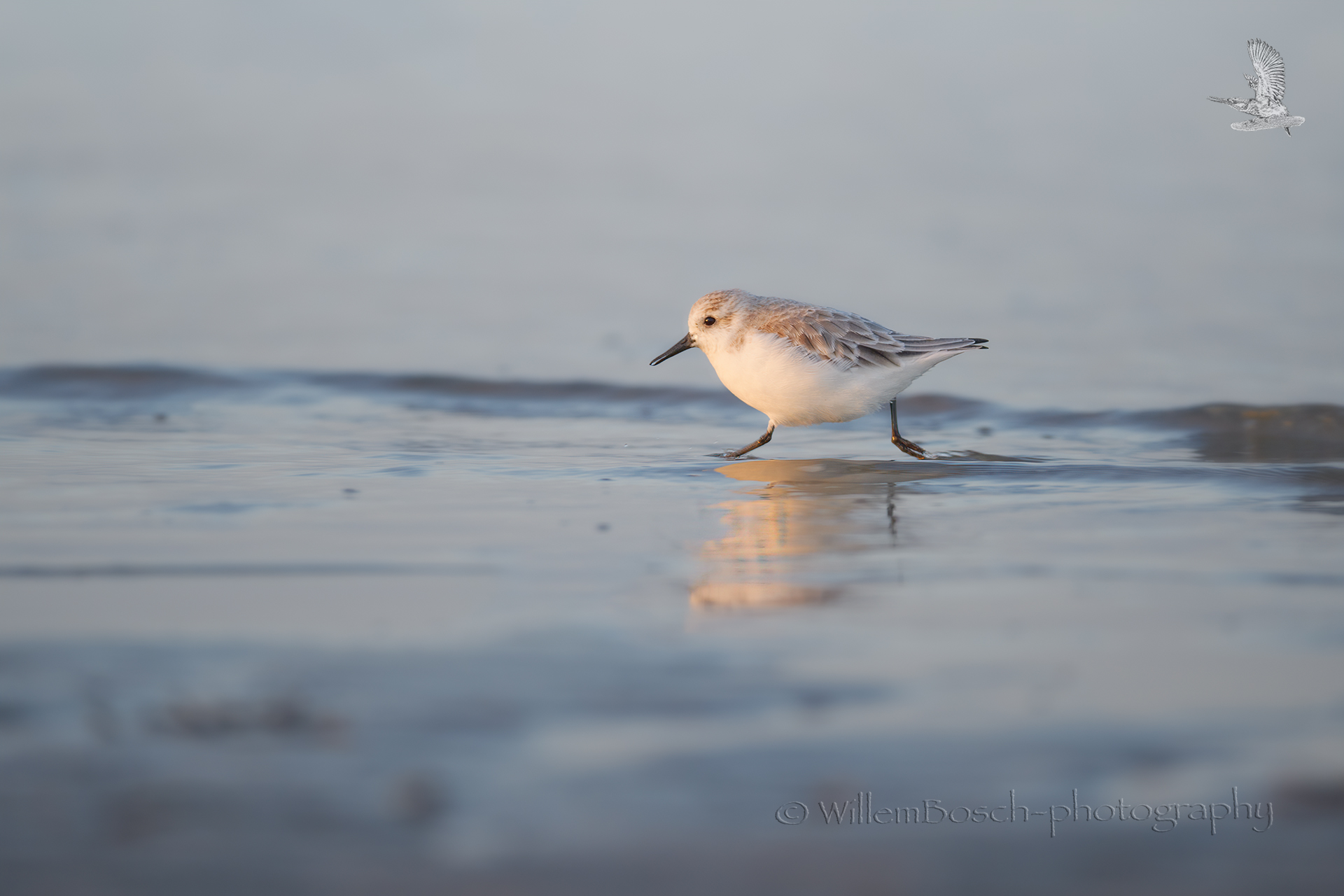 Drieteenstrandloper_Calidris-alba_1920_ND52510