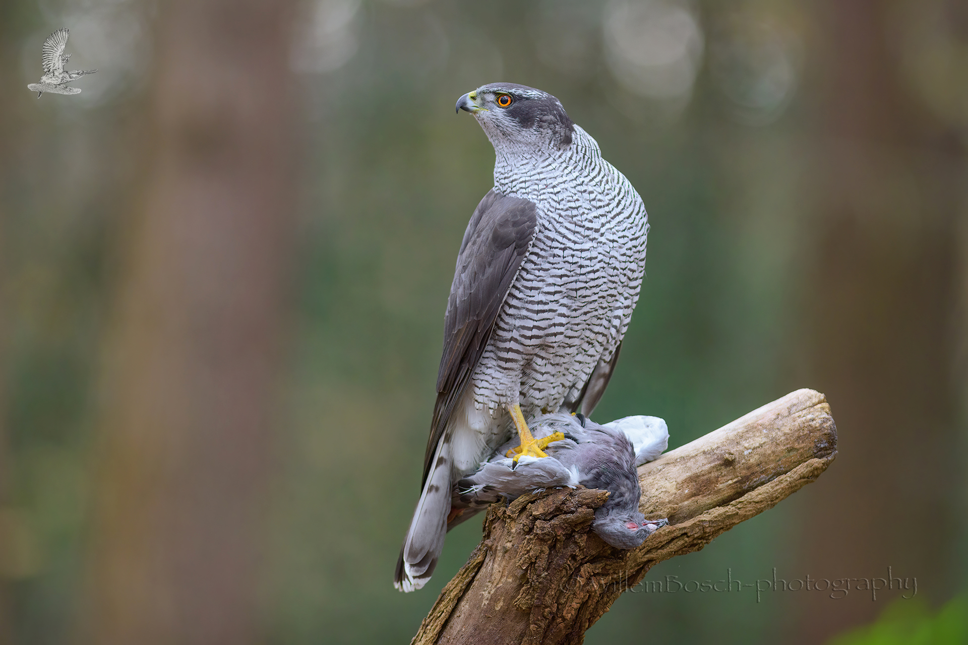 Havik2_Accipiter-gentilis_1920_NOV5093