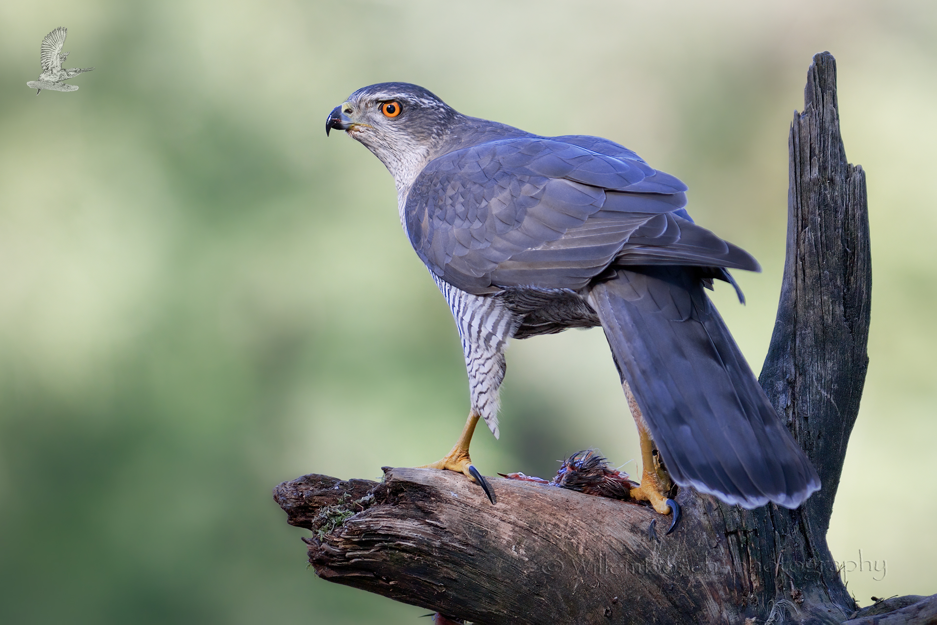 Havik_Accipiter-gentilis_1920_ND51474