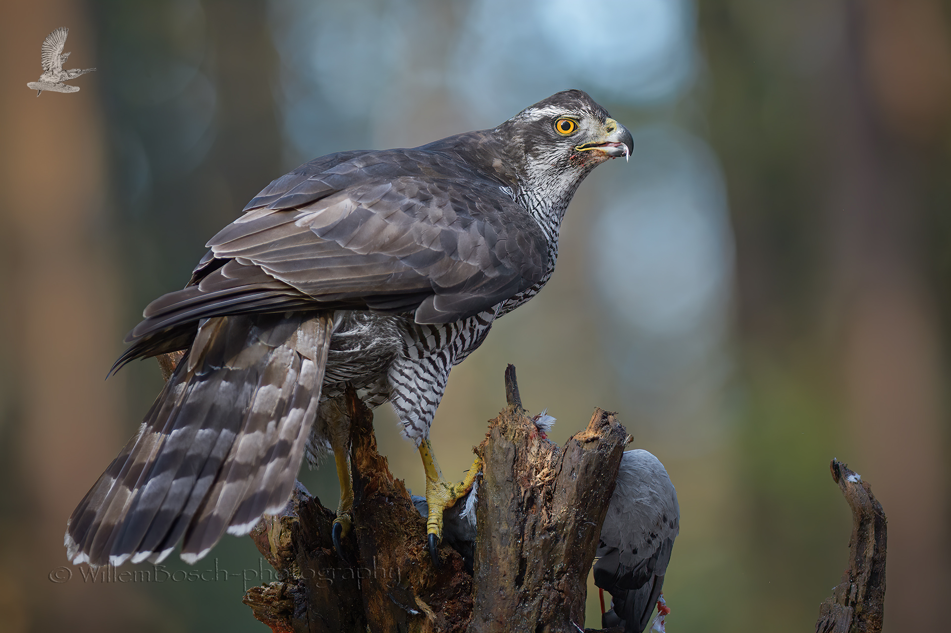 Havik_Accipiter-gentilis_1920_ND55207