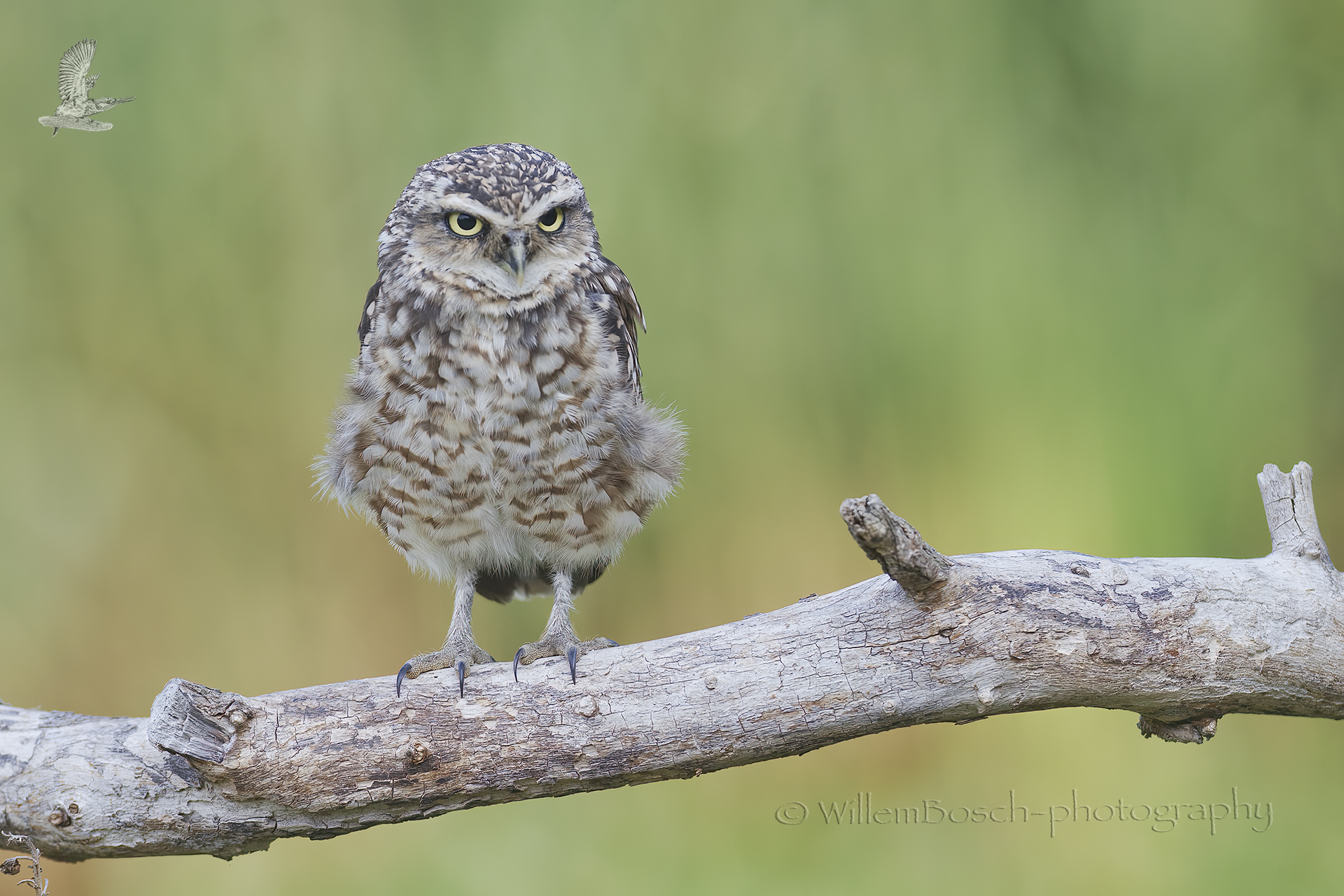 Holenuil_Athene-cunicularia_1920_ND52076