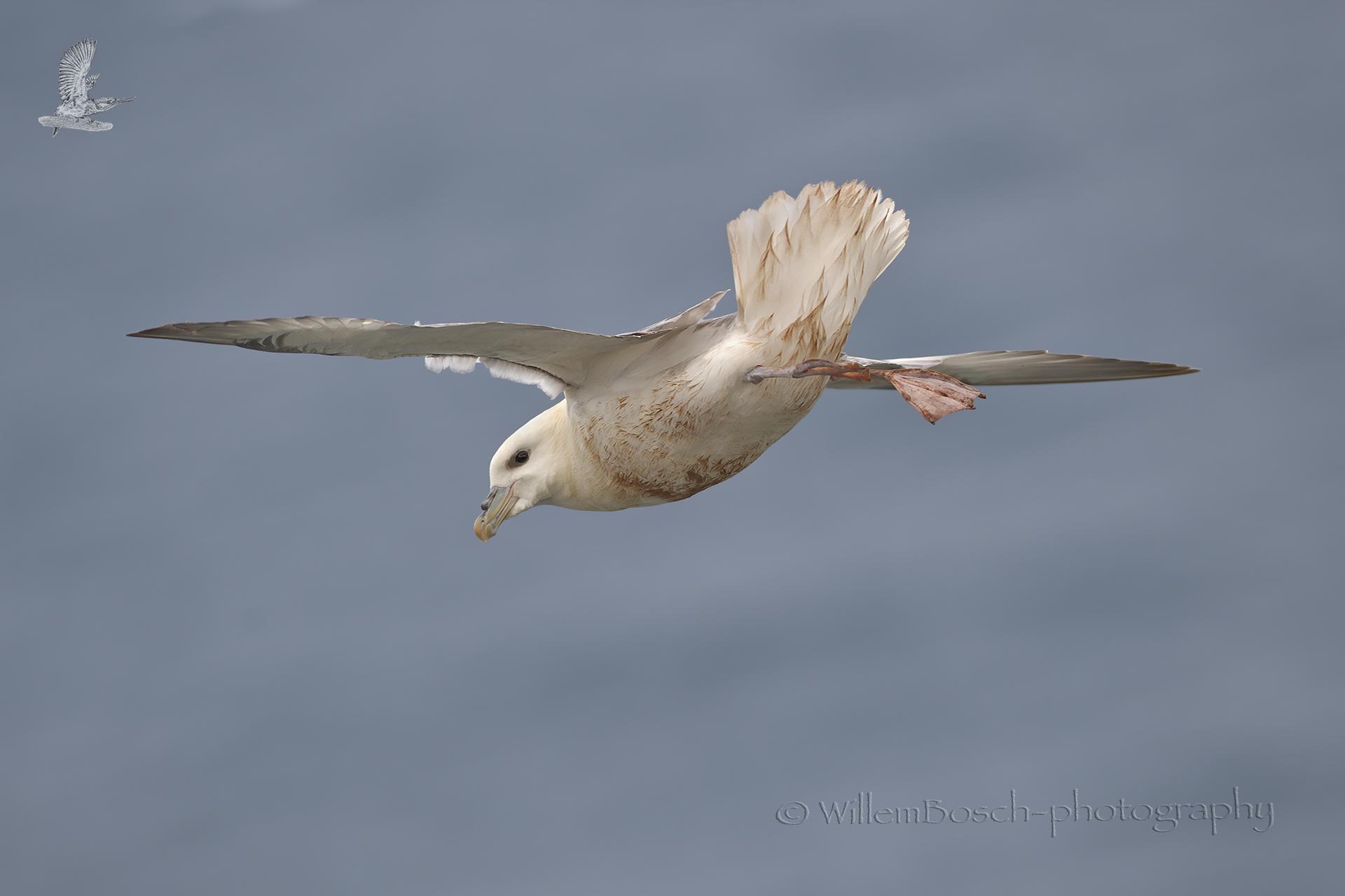 Noordse-stormvogel_Fulmarus-glacialis_1920_ND59876