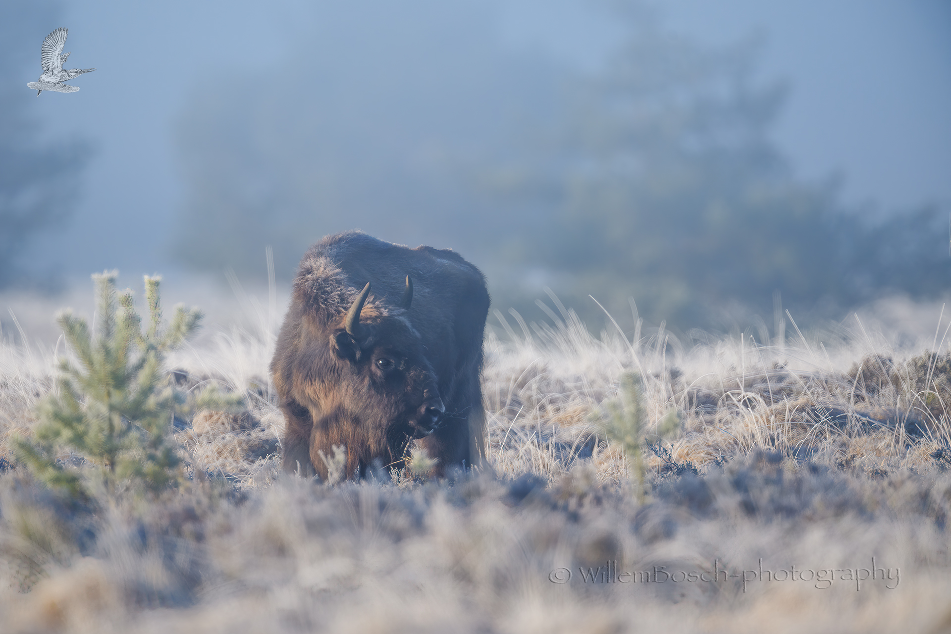 Wisent_Bison-bonasus_1920_ND51386