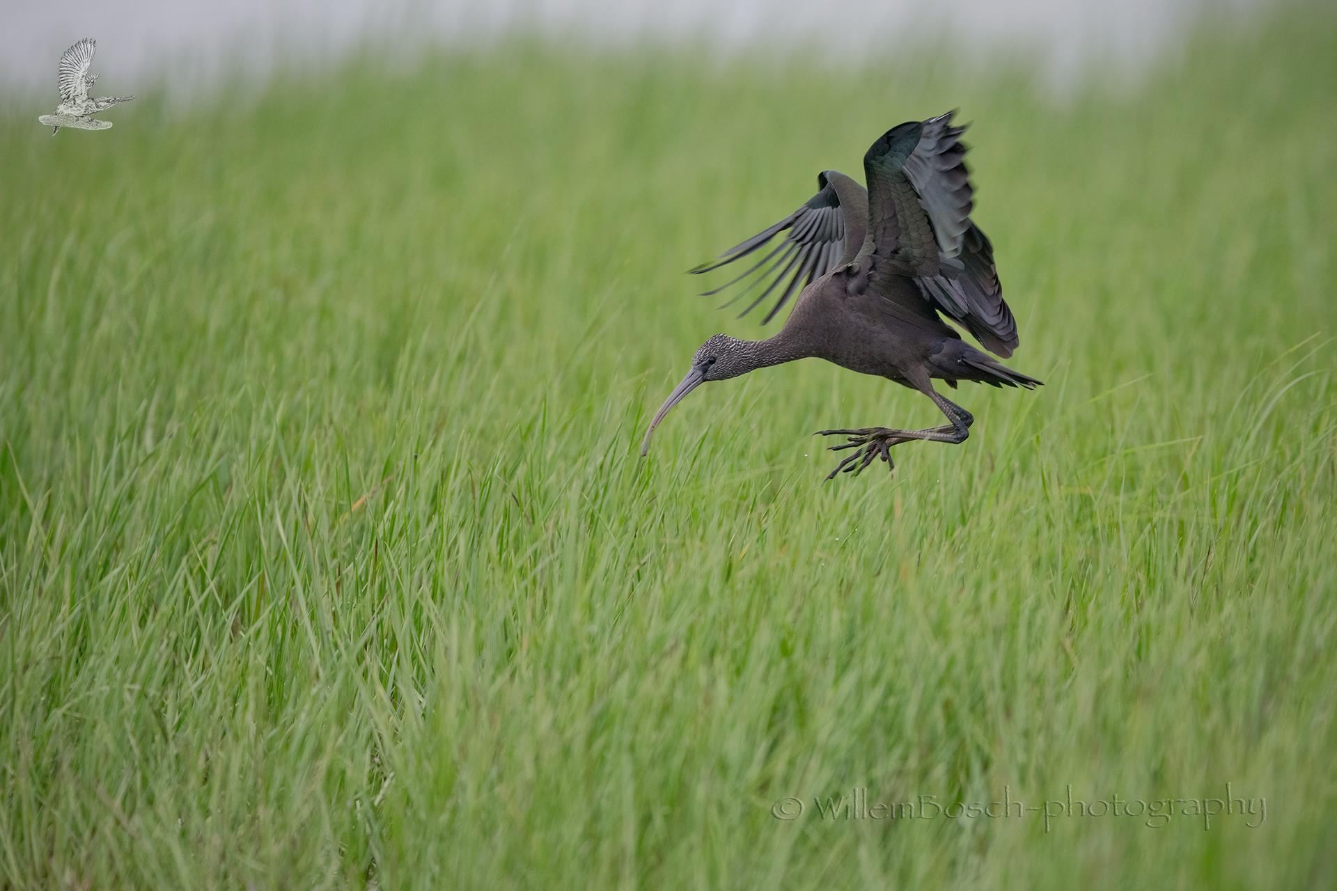 Zwarte-ibis_Plegadis-falcinellus_1920_D854923