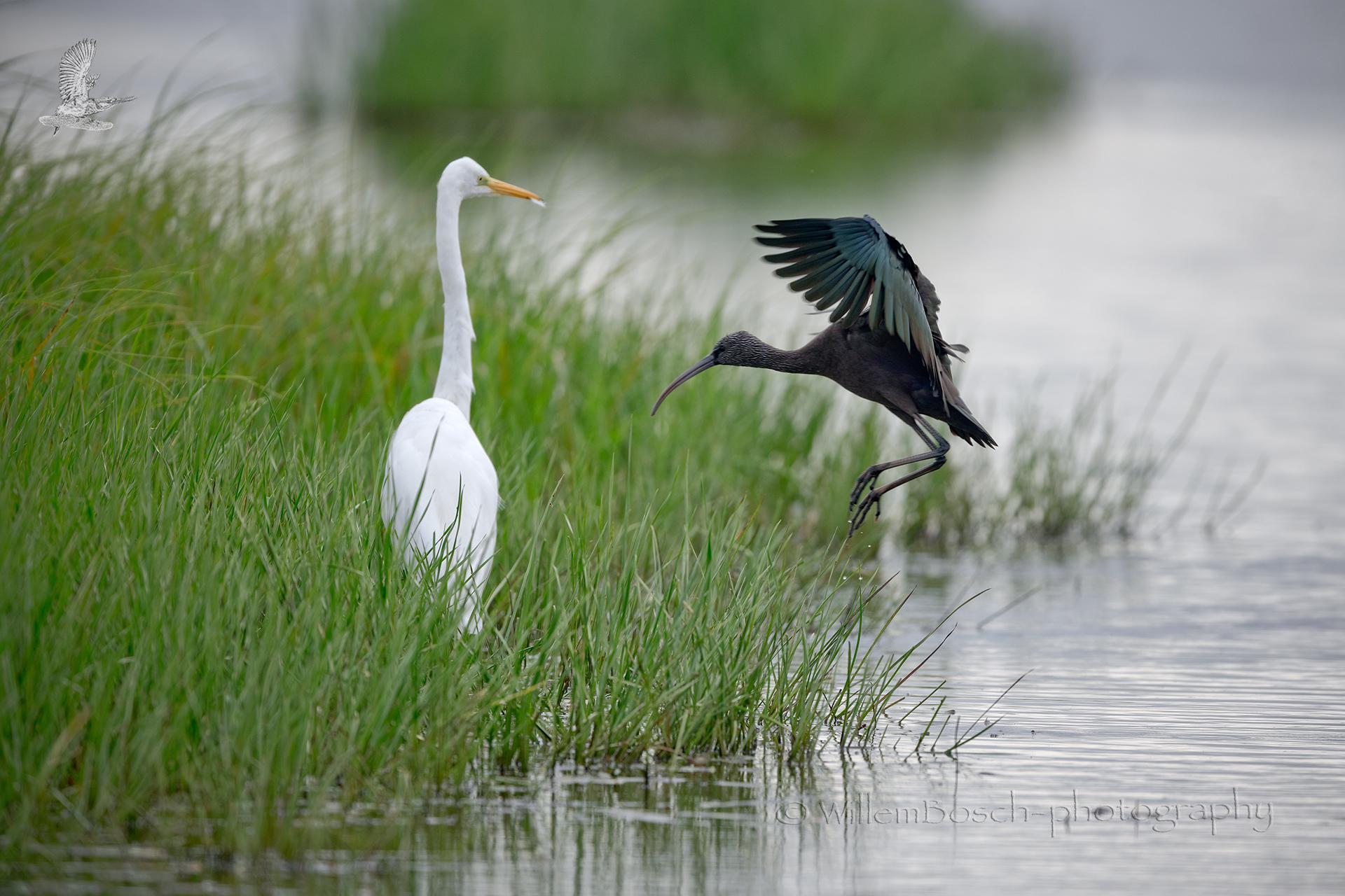 Zwarte-ibis_Plegadis-falcinellus_1920_D855032