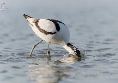 Kluut_Recurvirostra avosetta_1920_D854746