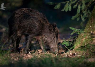Wildvarken_Sus Scrofa_D853164