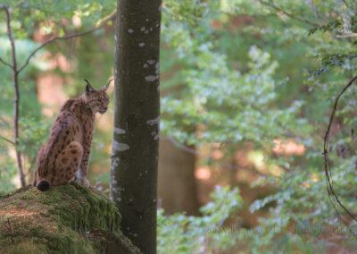 Lynx_Lynx_1920_MEI6942