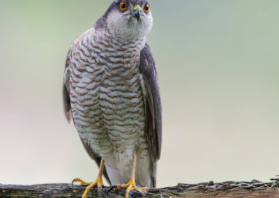Sperwer_Accipiter nisus_1920_FAR3774