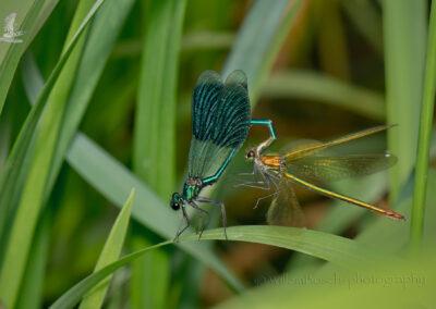 Weidebeekjuffer_Calopteryx splendens_1920_D857677