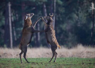 Dansende Herten_ND58434