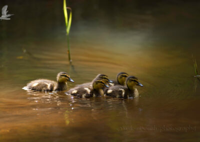 Duckjes_ND50589