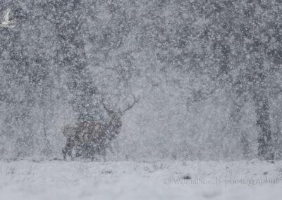 Geweidrager_sneeuw_1920_D851742