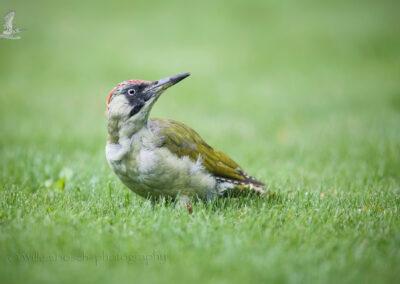 Groenespecht_Picus viridis_D854938