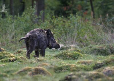 Wildvarken_1920_D852658