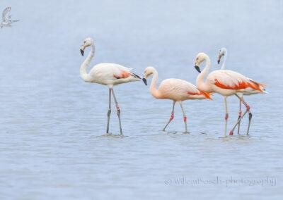Flamingo's_Phoenicopteridae_1920_JUL5688