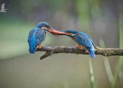 IJsvogelpaar_Alcedinidae_1920_ND59425
